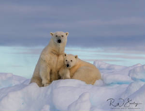https://richardseeleyphotography.smugmug.com/Mammals/Bears/Polar-Bear/
